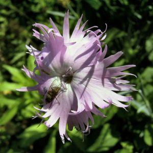 Nelke lila zerfranste Bluete Dianthus 01