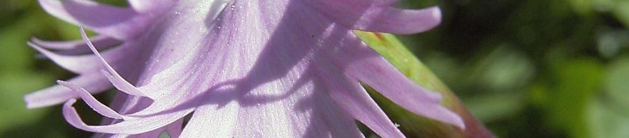 Anklicken um das ganze Bild zu sehen Nelke lila zerfranste Blüte Dianthus