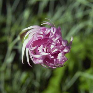Nelke lila zerfranste Bluete Dianthus 07