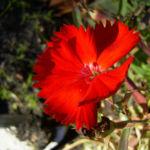 Nelke rote Bluete Dianthus chinensis 01