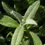 Nelke rote Bluete Dianthus chinensis 02
