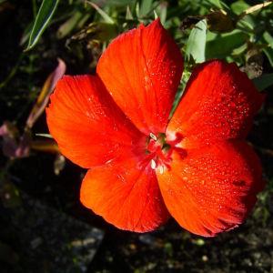 Nelke rote Bluete Dianthus chinensis 03