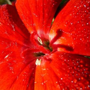 Nelke rote Bluete Dianthus chinensis 04