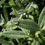 Nelke rote Bluete Dianthus chinensis 05