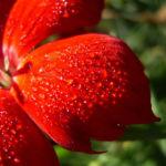 Nelke rote Bluete Dianthus chinensis 06