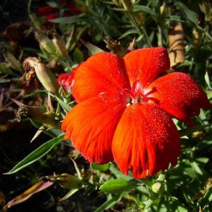 Nelke rote Bluete Dianthus chinensis 07