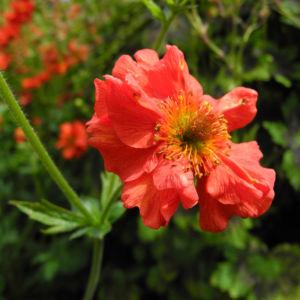 Nelkenwurz Bluete rot Geum chiloense 10