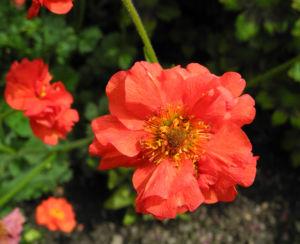 Nelkenwurz Bluete rot Geum chiloense 11
