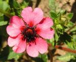 Nepal Fingerkraut Bluete pink Potentilla nepalensis 01