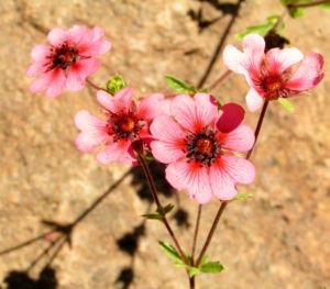 Bild: Nepal Fingerkraut Bluete pink Potentilla nepalensis