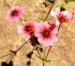 Zurück zum kompletten Bilderset Nepal Fingerkraut Blüte pink Potentilla nepalensis