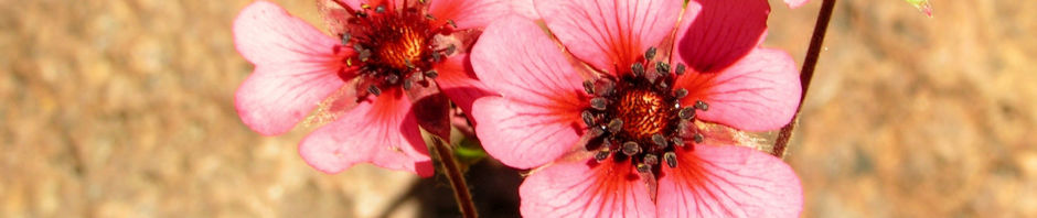 nepal-fingerkraut-bluete-pink-potentilla-nepalensis