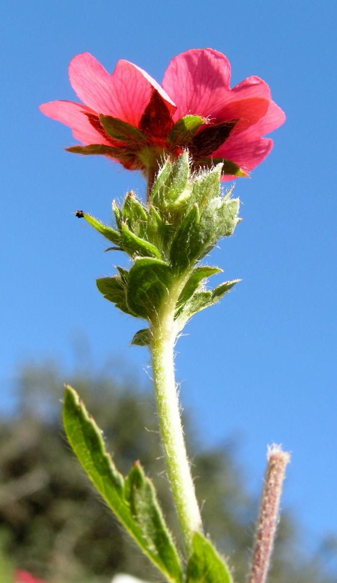 Nepal Fingerkraut Bluete pink Potentilla nepalensis
