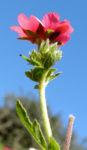 Nepal Fingerkraut Bluete pink Potentilla nepalensis 04