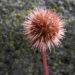 Zurück zum kompletten Bilderset Neuseeland Stachelnüsschen Blüte rötlich Acaena microphylla