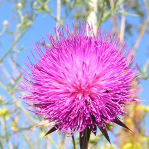 Nickende Distel Bluete pink Carduus nutans 02
