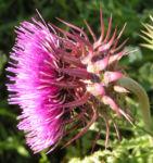 Nickende Distel Bluete pink Carduus nutans 03