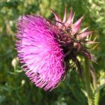 Nickende Distel Bluete pink Carduus nutans 05