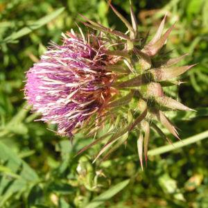 Nickende Distel Bluete pink Carduus nutans 06