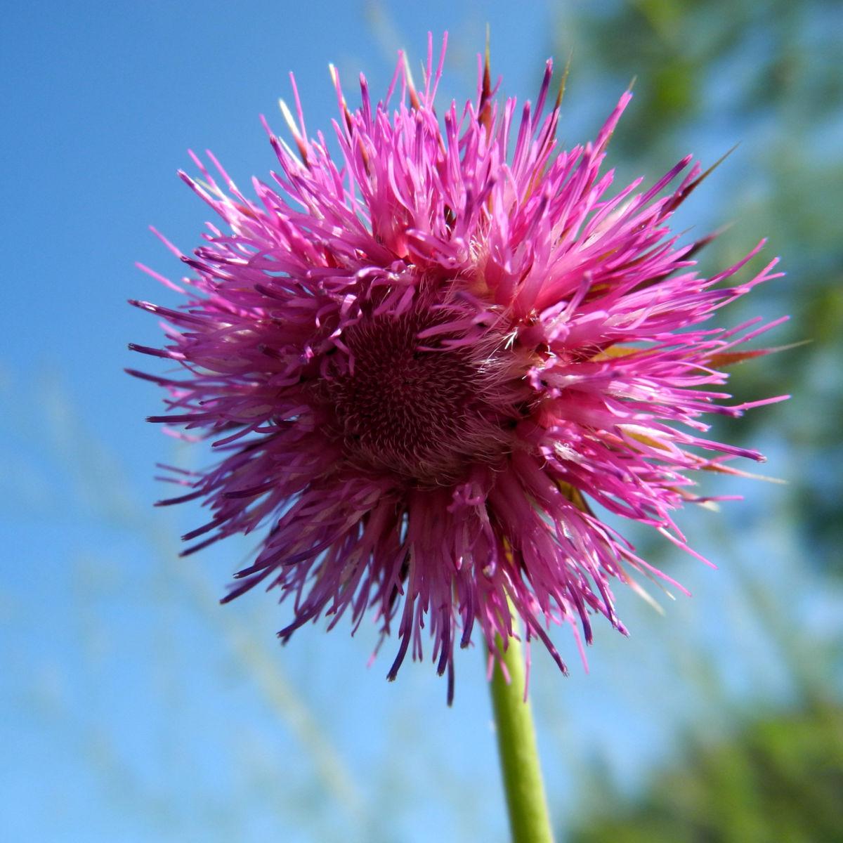 Nickende Distel Bluete stachelig lila Carduus nutans