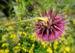 Zurück zum kompletten Bilderset Nickende Distel Blüte stachelig lila Carduus nutans