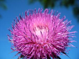 Nickende Distel Bluete stachelig lila Carduus nutans 27