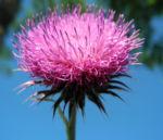 Nickende Distel Bluete stachelig lila Carduus nutans 28