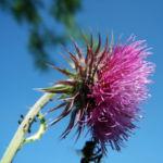 Nickende Distel Bluete stachelig lila Carduus nutans 29