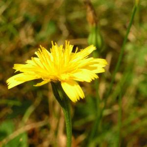 Nickender Loewenzahn Bluete gelb Leontodon saxatilis 04