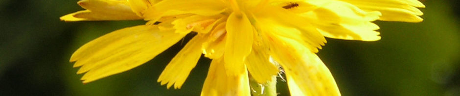 Anklicken um das ganze Bild zu sehen Nickender-Löwenzahn Blüte gelb Leontodon saxatilis