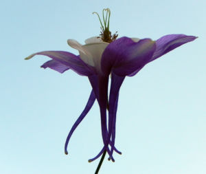 Nordamerikanische Akelei Blute blau weiss Aquilegia caerulea 01