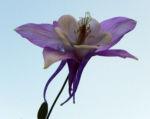 Nordamerikanische Akelei Blute blau weiss Aquilegia caerulea 02
