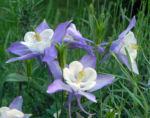 Nordamerikanische Akelei Blute blau weiss Aquilegia caerulea 03