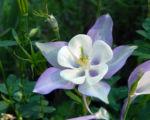 Nordamerikanische Akelei Blute blau weiss Aquilegia caerulea 04