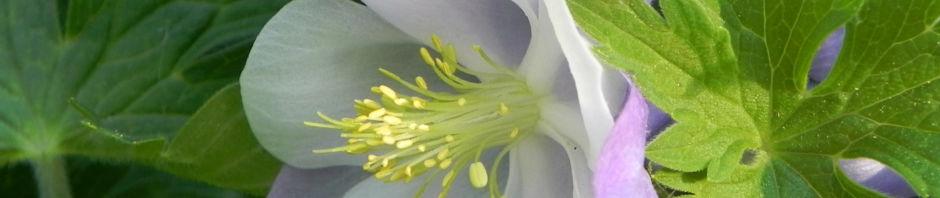 nordamerikanische-akelei-bluete-blau-weiss-aquilegia-caerulea