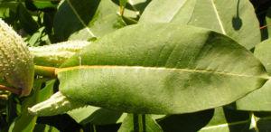 Nordamerikanische Seidenpflanze Frucht stachelig hellgruen Asclepias syriaca 05
