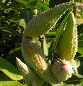 Nordamerikanische Seidenpflanze Frucht stachelig hellgruen Asclepias syriaca 07