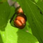Nordamerikanischer Zuergelbaum Blatt gruen Celtis accidentalis 09