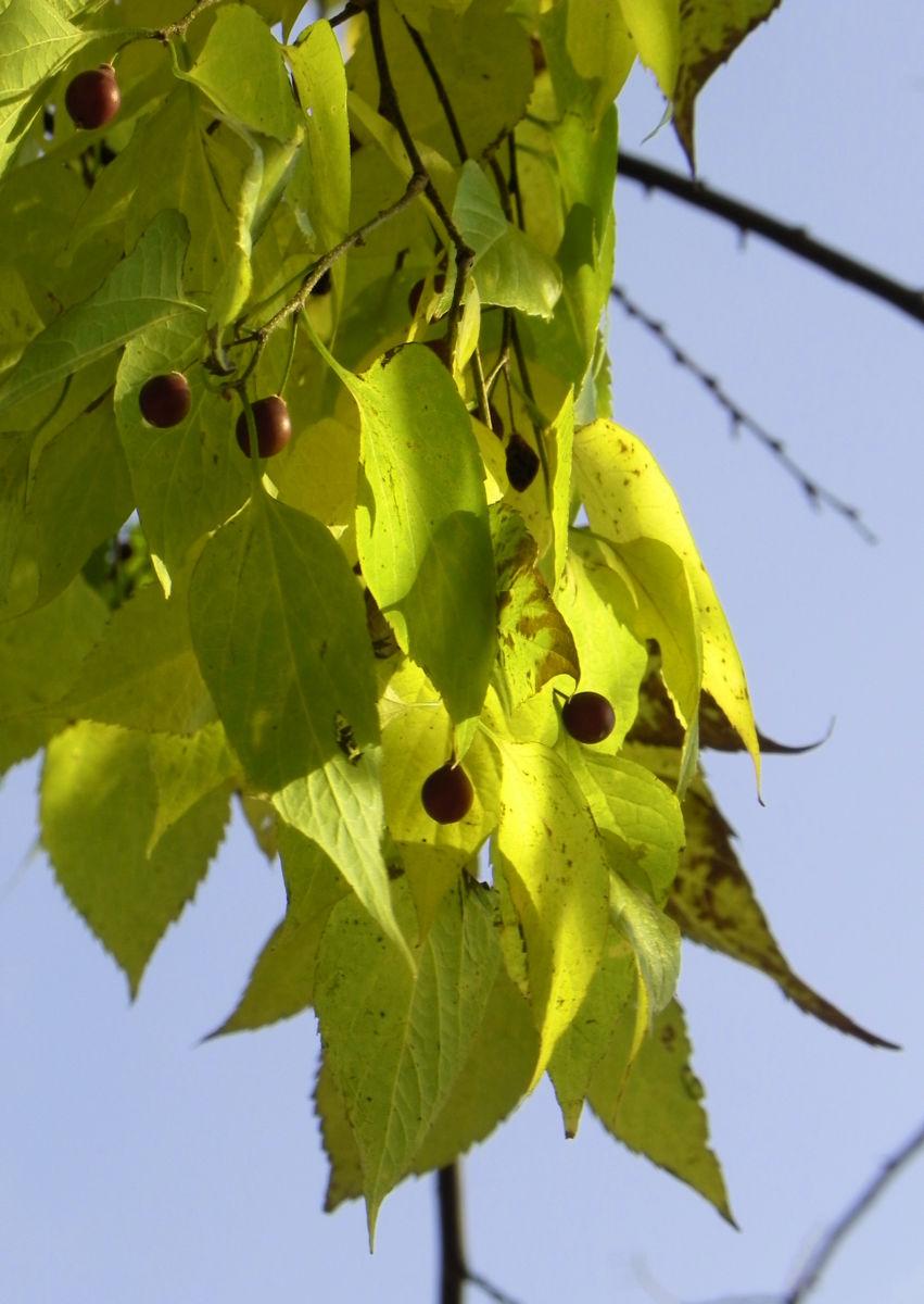 Nordamerikanischer Zuergelbaum Blatt gruen Celtis accidentalis