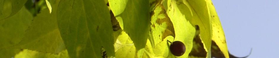 nordamerikanischer-zuergelbaum-blatt-gruen-frucht-braun-rinde-grau-celtis-occidentalis