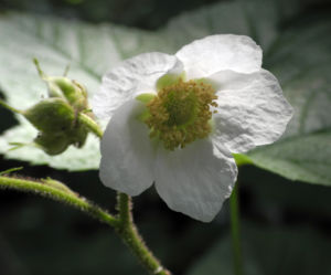 Bild: Nutka Himbeere Bluete weiß Rubus parviflorus