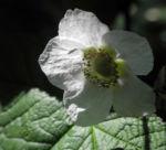 Nutka Himbeere Bluete weiß Rubus parviflorus 04