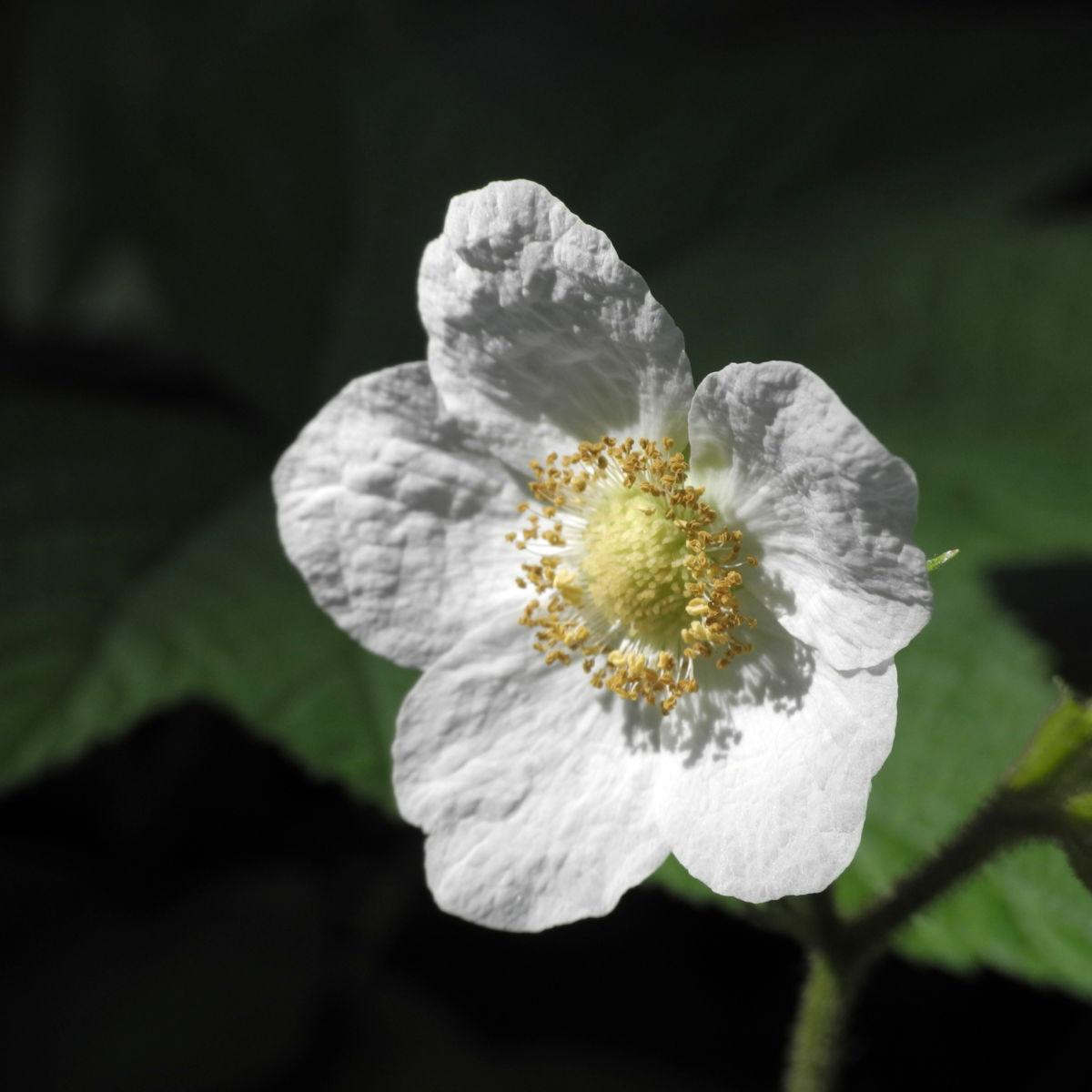 Nutka Himbeere Bluete weiß Rubus parviflorus