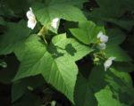 Nutka Himbeere Bluete weiß Rubus parviflorus 06