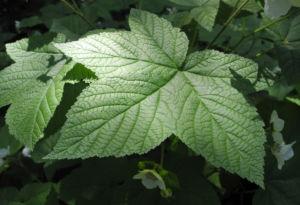 Nutka Himbeere Bluete weiß Rubus parviflorus 07