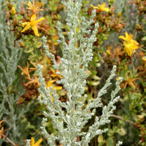 Oesterreichischer Beifuss Artemisia austriaca 02