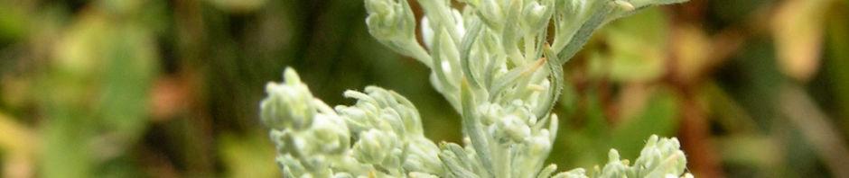 oesterreichischer-beifuss-blatt-silber-artemisia-austriaca
