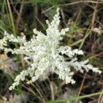 Oesterreichischer Beifuss Artemisia austriaca 06