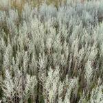 Oesterreichischer Beifuss Artemisia austriaca 08