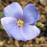 Oesterreichischer Lein Bluete blau Linum austriacum 02
